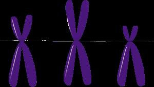 drei gemalte X-Chromosomen in Lila